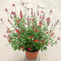 Salvia microphylla melange