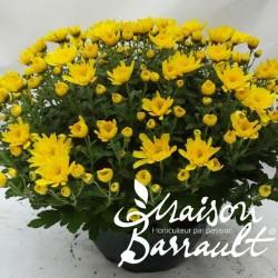 Chrysantheme multifleurs unicolore