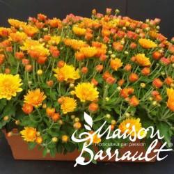 Chrysantheme unicolore
