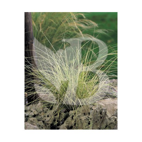 Carex brunnea jenneke