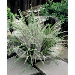 Carex morrowii ice dance ou variegata