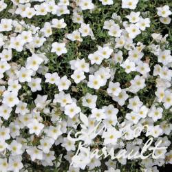 Nierembergia repens alba