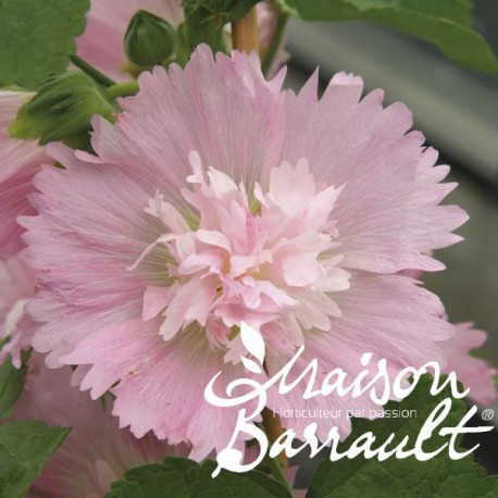 Alcea rosea spring celebrities pink