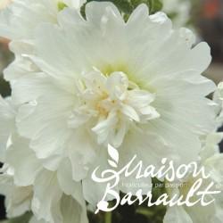 Alcea rosea spring celebrities white