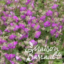 Geranium cantabrigiense crystal rose