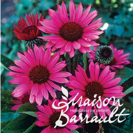 Echinacea purpurea fatal attraction ®