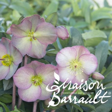 Helleborus x hybridus penny's pink ®