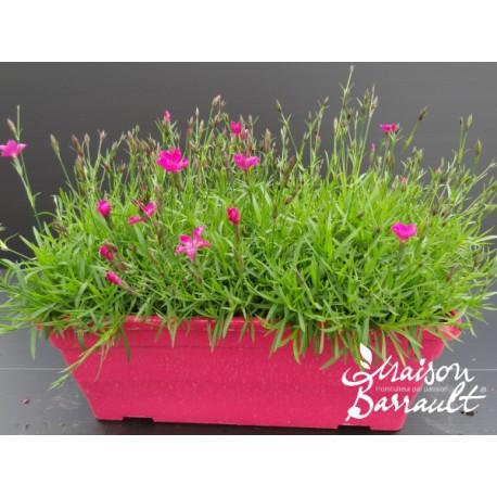 Dianthus oriental ®