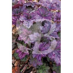Heuchera micrantha frosted violet ®