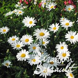 Leucanthemum etoile d'anvers