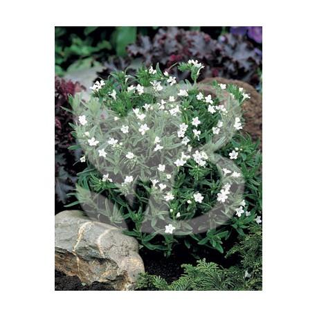 Lithodora diffusa peter's favourite