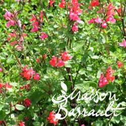 Salvia grahamii rouge