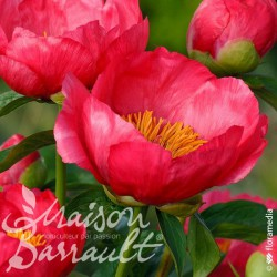 Paeonia lactiflora flame