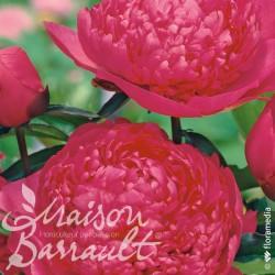 Paeonia lactiflora general mc mahon