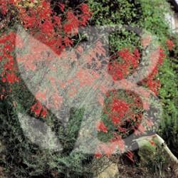 Zauschneria californica glasnevin