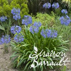 Agapanthus umbellatus blue