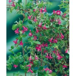 Fuchsia microphylla rosea