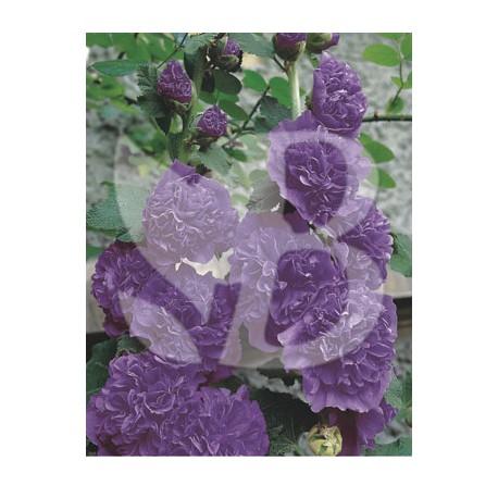 Alcea rosea pleniflora violet