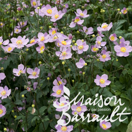 Anemone hupehensis september charm