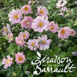 Anemone japonica koningin charlotte