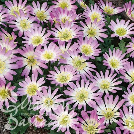 Anemone blanda charmer