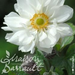 Anemone x hybrida japonica whirlwind