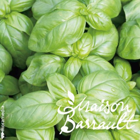 Basilic grand vert (plante répulsive)
