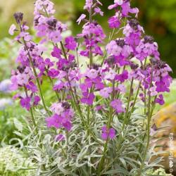 Erysimum bowles garden mauve