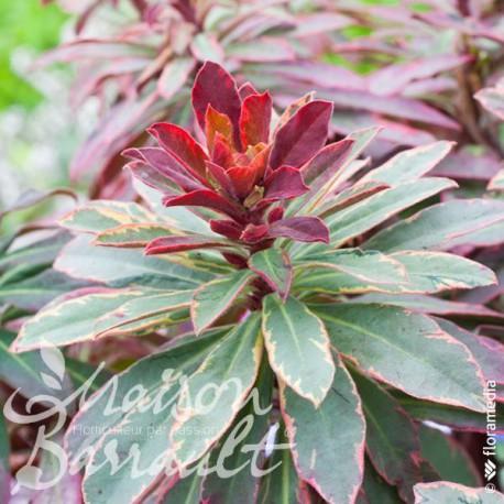 Euphorbia characias helena's blush