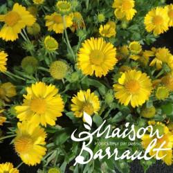 Gaillardia aristata mesa yellow