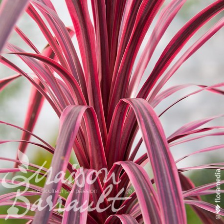 Cordyline australis cherry sensation ®