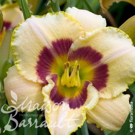 Hemerocallis jaune crème