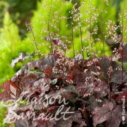 Heuchera micrantha dark secret ®