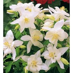 Aquilegia caerulea silver queen