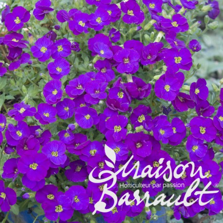 Aubrieta violette