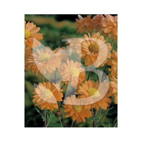 Chrysanthemum hybride lupo