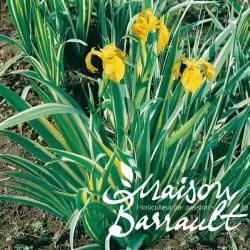 Iris pseudoacorus variegata