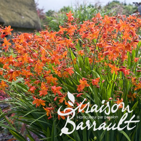 Crocosmia masonorum orange