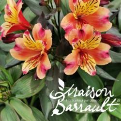 Alstroemeria aurantiaca Indian Summer