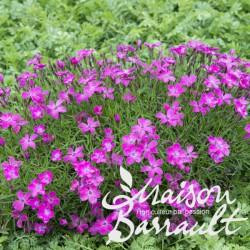 Dianthus hybride kahori ®