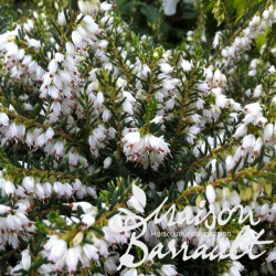 Erica darleyensis white glow