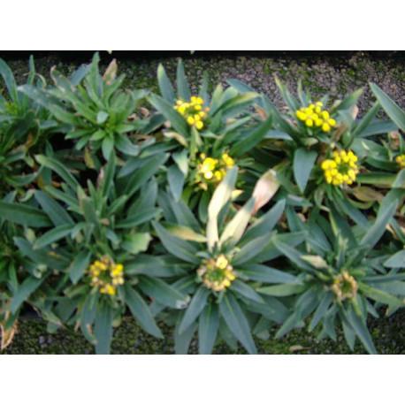 Erysimum suffruticosum gold cup
