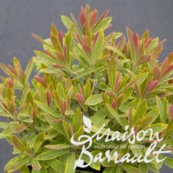 Euphorbia x martinii ascot rainbow ®