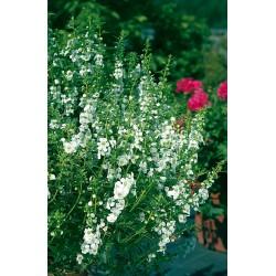 Angelonia angustifolia blanc