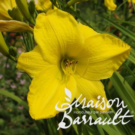 Hemerocallis lemon bells