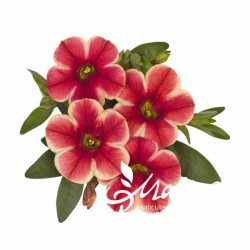 Calibrachoa million bells ® bicolore