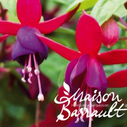 Fuchsia therese dupuis