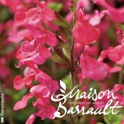 Salvia x jamensis flammenn