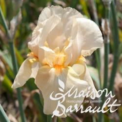 Iris germanica françois debat