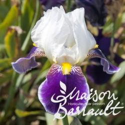 Iris germanica wabash